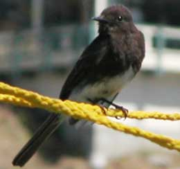 Case Study - Crystal Springs - Black Phoebe