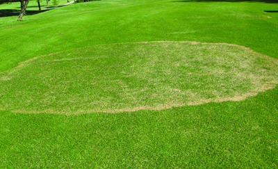 Effects of summer cultivation and fertilization timing on large patch in zoysiagrass: photo 1