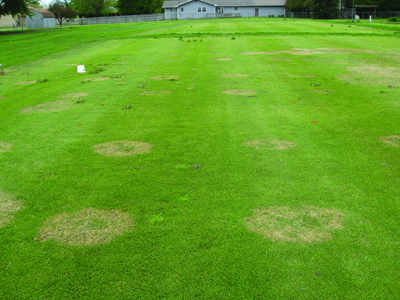 Effects of summer cultivation and fertilization timing on large patch in zoysiagrass: photo 5
