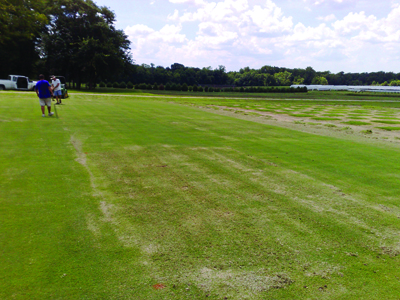 Effects of summer cultivation and fertilization timing on large patch in zoysiagrass: photo 6